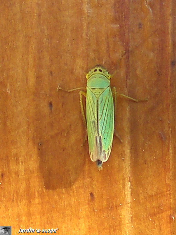 Cicadelle verte • Cicadella Veridis • Famille des Jassideae