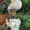Tricholoma album