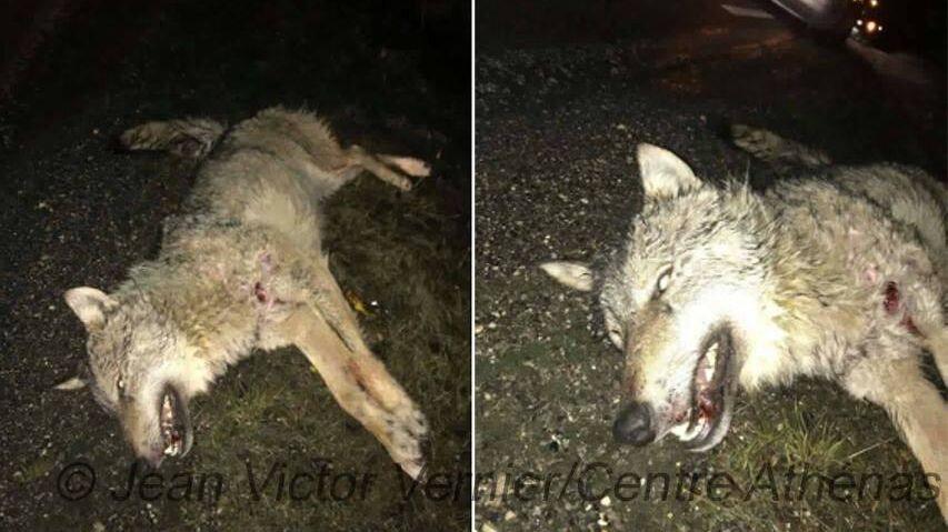 Enorme loup écrasé dans le Haut-Doubs !