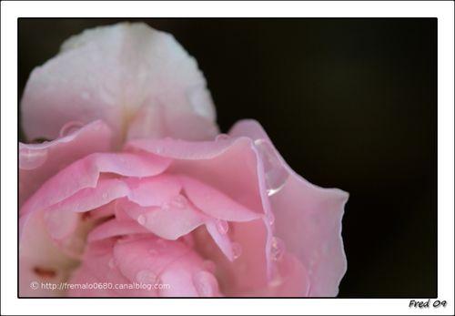 ...mignonne allons voir si la rose ...