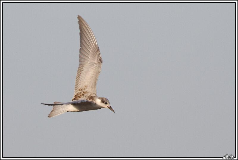 les Sternes, c'est pas toujours facile, surtout en plumage juvénile !
