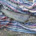 Fario 35cm 18 avril 2007
