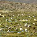 84 Alpagas
