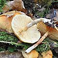 Gymnopilus penetrans (3)