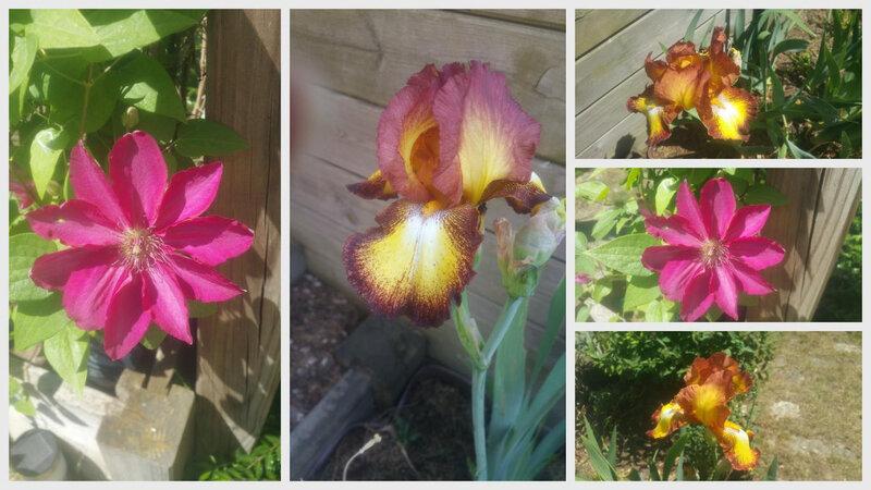 iris et clématite