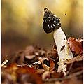 Satyre puant - Phallus impudicus