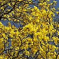 Tabebuia serratifolia