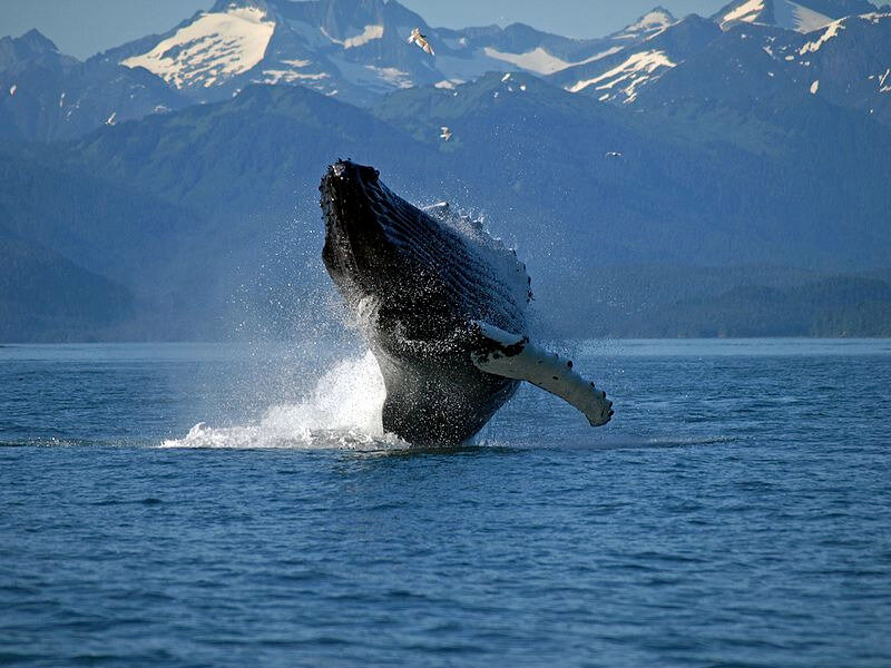Adult_Humpback_Whale_breaching