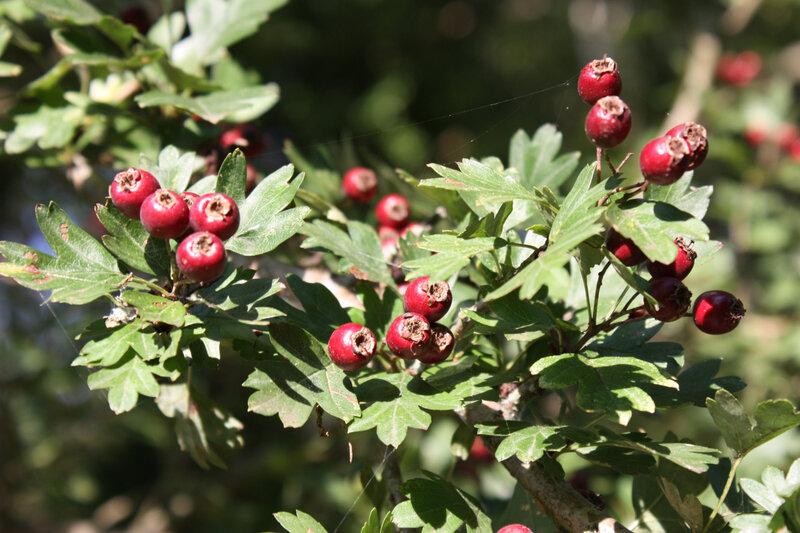 Aubepine (fruits) (2)