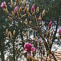 Magnolia 29011610