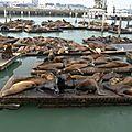 LES LIONS DE MER DE SAN FRANCISCO