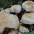 Collybia fusipes (2)