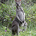 Le wallaby de parry
