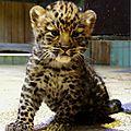 Panthère de l'amour - espèce la mieux protégée 2013
