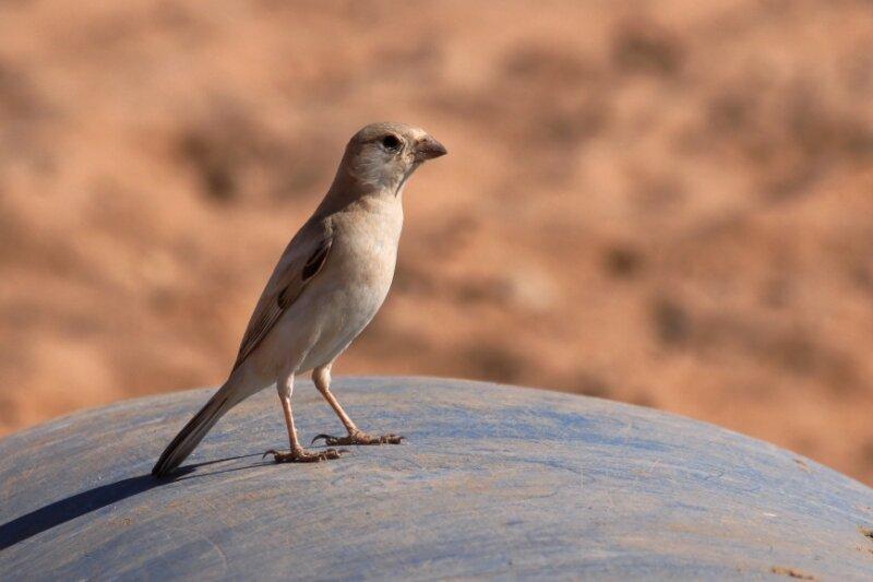 Passer simplex femelle2_Route d'Awserd_Maroc_XRu