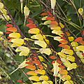 Mina Lobata Ipomoea lobata_4441