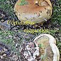 Cortinarius elegantior