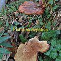 Fistulina hepatica