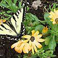 Papillon tigré du Canada - Canadian tiger swallowtail