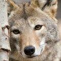 Wolf eye Jessicacrabtree