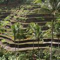 Rizières aux environs d'Ubud