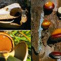 Polypore petite bouchée ヒトクチタケ cryptoporus volvatus