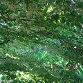 Styrax japonica 'pendula' aux mille et une fleurs