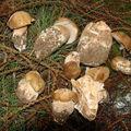 2008 07 20 Quelques bolets que Cyril a trouvé à Roumezoux lors d'une balade