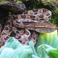 Vipère fer de lance/pointed-scaled pitviper/龜殼花 (protobothrops mucrosquamatus)