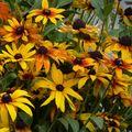 2009 09 01 Mes rudbeckias en fleurs