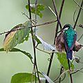 Oiseaux du costa rica -(3)