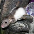 Rats à adopter à partir du 3 juin...