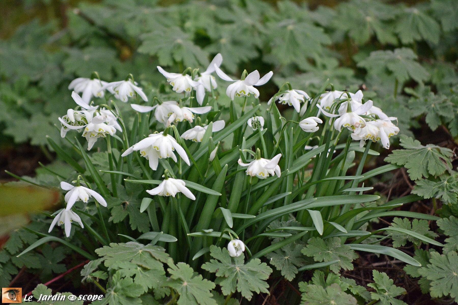 Leurs petites fleurs doubles blanches bravent les frimas...