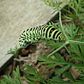 Pchenille de machaon