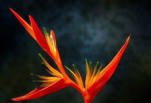 fleurs_oiseau_de_paradis_bird_of_paradise_223773__340