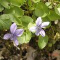 petites fleurs violette
