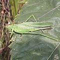 Joli Cricket (11)
