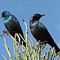 Choucador à épaulettes rouges (lamprotornis nitens) - Solitaire Namibie