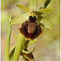 Ophrys occidentalis : ophrys exaltata subsp. marzuola