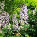 Glycine et fleurs de marronnier mai 08
