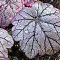 Heuchera x Sugar Plum