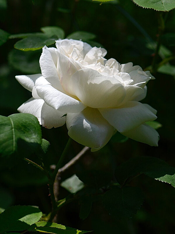 Rose Giselle 2 07-05-18