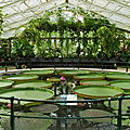 Kew_waterlily
