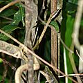 Oxybelis aeneus : serpent liane
