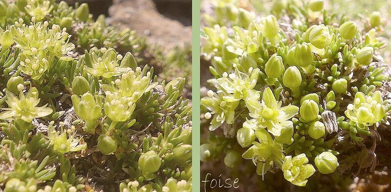 fleur solitaire pédicelle court 5 sépales vert jaunâtre pétales quasi nuls