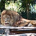 lion beauval3