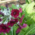 Fleur Primevère de l'Himalaya