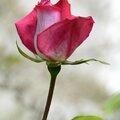 Rose sur blanc