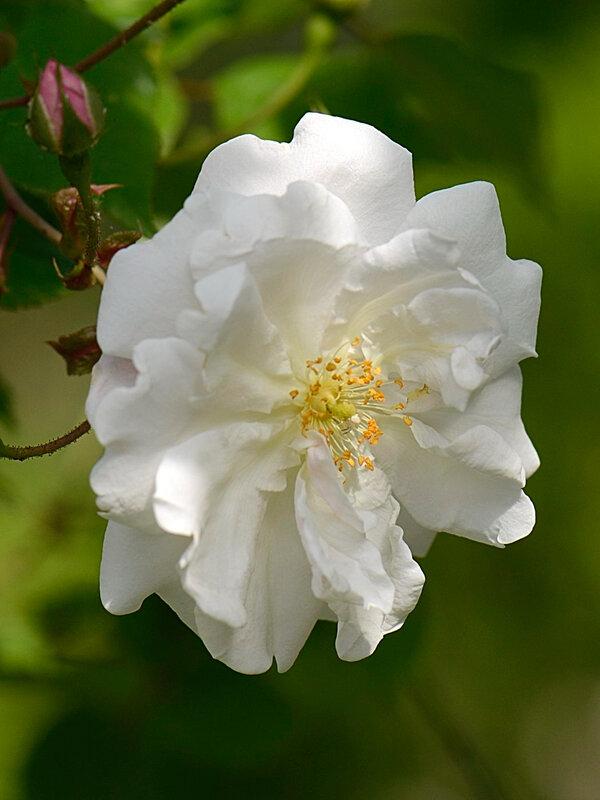 Petite rose 06-06-18