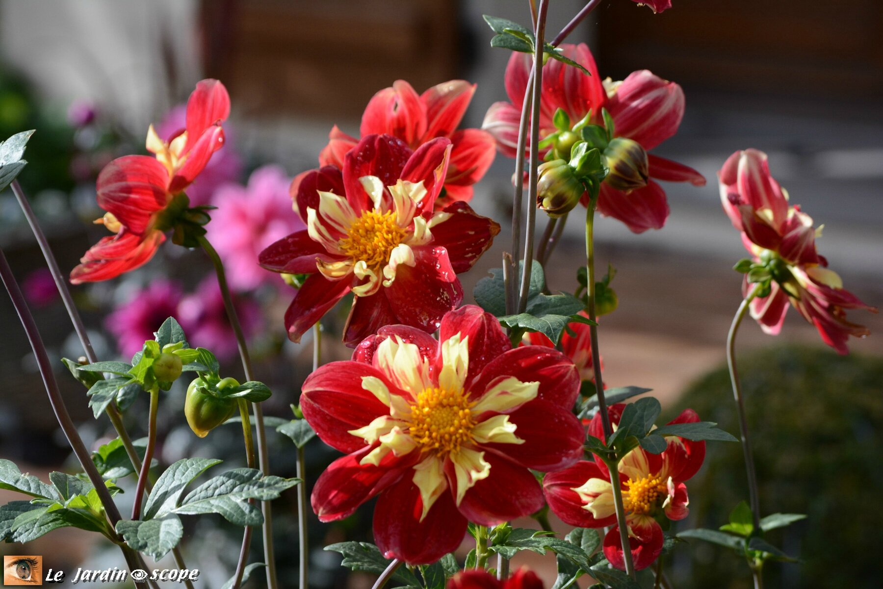 Dahlia 'Raïssa' (Label Rouge)
